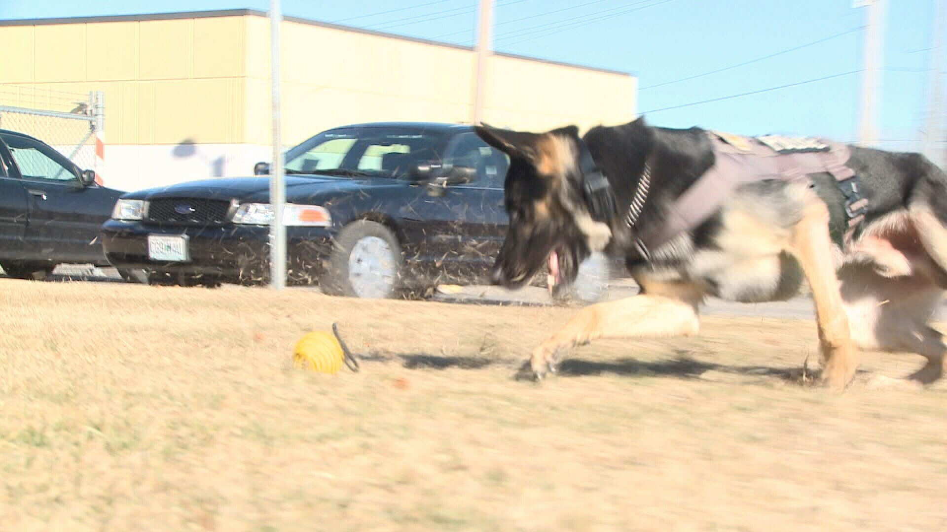 JPD K9 Fighter kicks up the grass playing ball with his handler, Officer Randy Black.