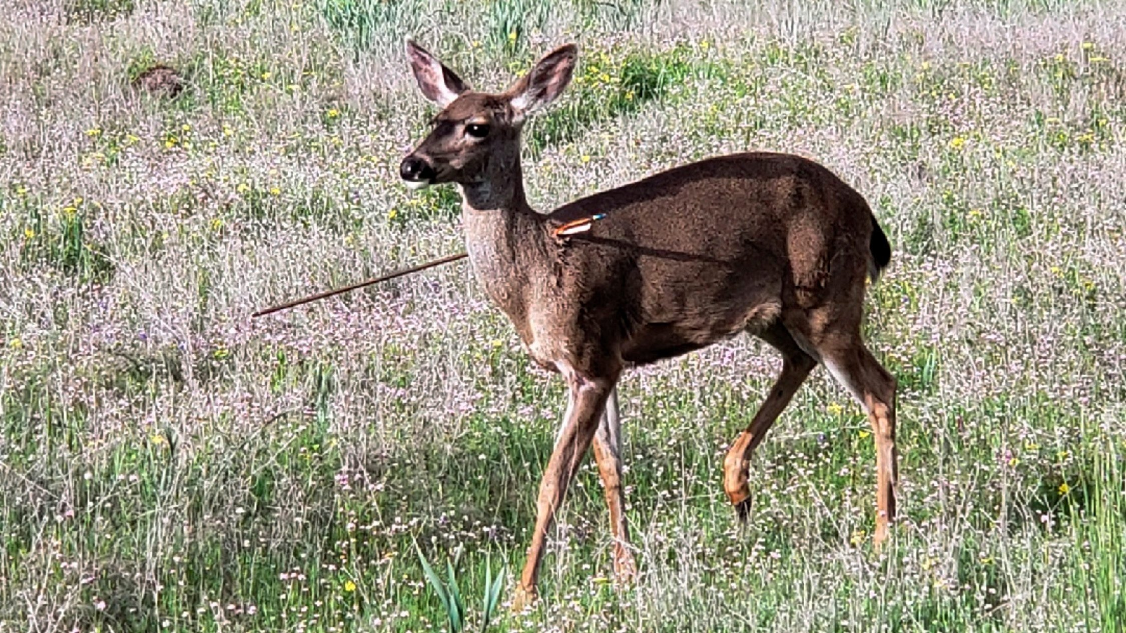 Oregon State Police Investigating Multiple Deer that were shot with Arrows