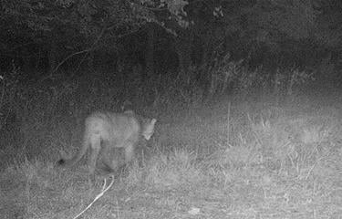 Mountain lion photographed on trail cam in southeast Kansas