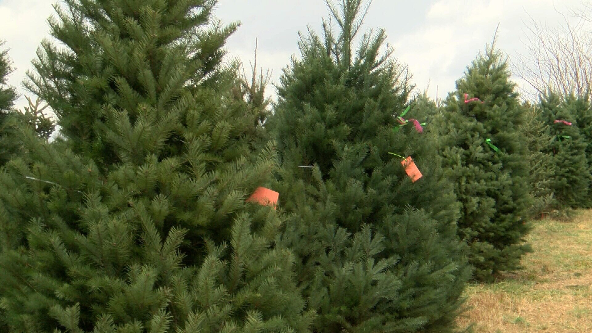 national christmas tree shortage hits the four states koam tv 7 - National Christmas Tree Association
