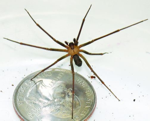 Be on the lookout for Brown Recluse Spiders; 10 facts ... - photo#37