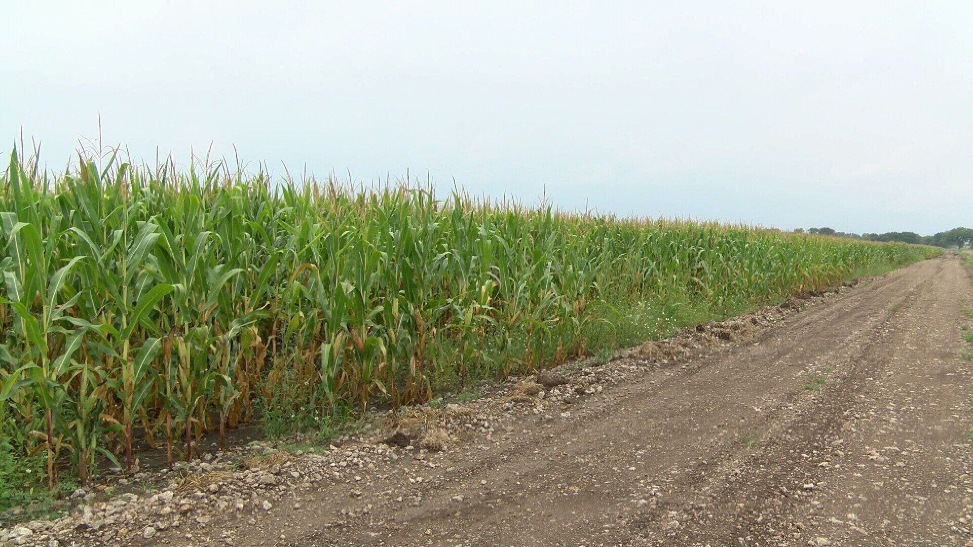 Corn field where Bender home and bodies were located